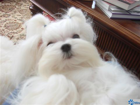 To adopt a Maltese is to know Love