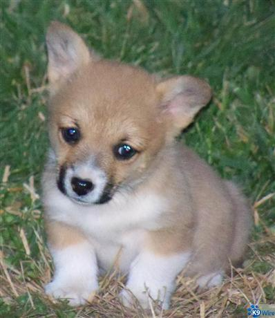 AKC Corgi Puppies